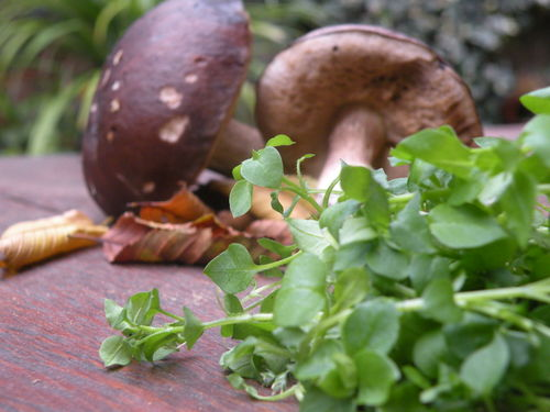 Birch boletus & chickweed