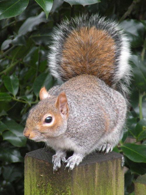 BP squirrel