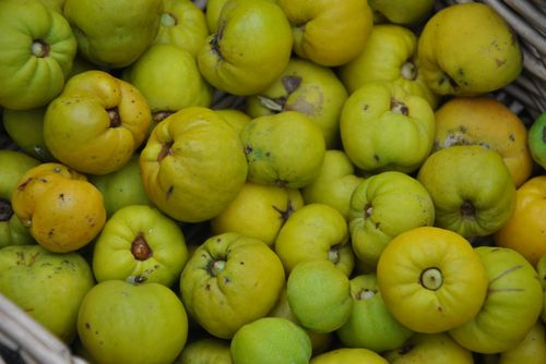 HUNTER-GATHERING: wild & fresh food: Quinces: Membrillo-ing the