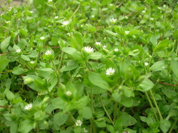 Chickweed_001_3
